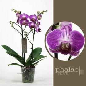 Phalaenopsis Ping Pong 2 výhon