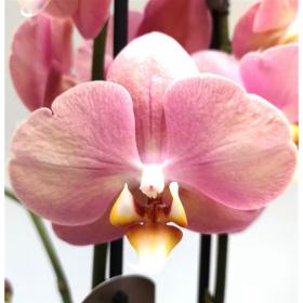 Phalaenopsis Sylvia 2 výhon