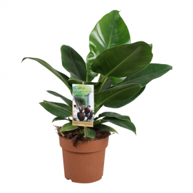 Philodendron - Filodendron zelený