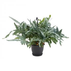 Phlebodium aureum - Tečkovka závěsná rostlina