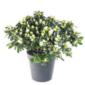 Pokojová azalka, Azalea indica, bílá, průměr květináče 13 cm