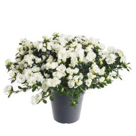 Pokojová azalka, Azalea indica, bílá, průměr květináče 15 cm