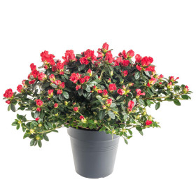Pokojová azalka, Azalea indica, červená, průměr květináče 15 cm