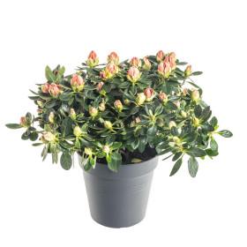 Pokojová azalka, Azalea indica, oranžová, průměr květináče 13 cm