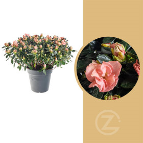 Pokojová azalka, Azalea indica, oranžová, průměr květináče 15 cm