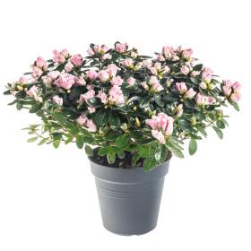 Pokojová azalka, Azalea indica, růžová, průměr květináče 13 cm
