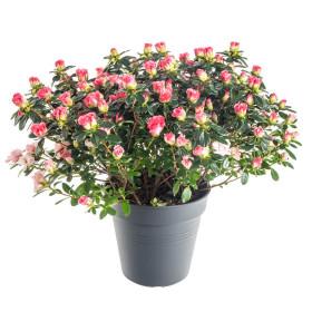 Pokojová azalka, Azalea indica, růžová, průměr květináče 15 cm