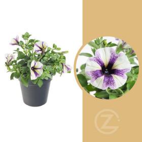Potunie, bílá s fialovými pruhy, průměr květináče 10 - 12 cm