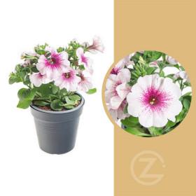 Potunie, bílá s růžovým žilkováním, průměr květináče 10 - 12 cm