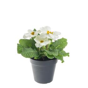 Prvosenka bezlodyžná, Primula acaulis, bílá