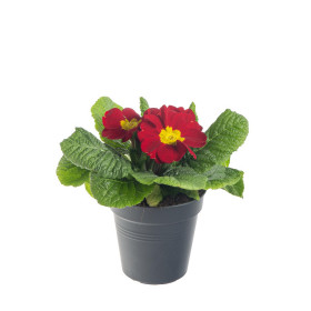 Prvosenka bezlodyžná, Primula acaulis, červená