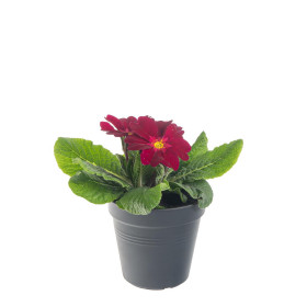 Prvosenka bezlodyžná, Primula acaulis, fialová