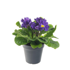 Prvosenka bezlodyžná, Primula acaulis, modrá