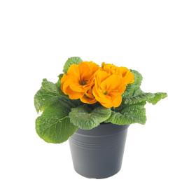Prvosenka bezlodyžná, Primula acaulis, oranžová