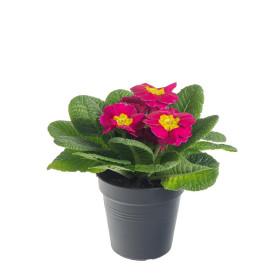 Prvosenka bezlodyžná, Primula acaulis, růžová