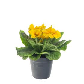 Prvosenka bezlodyžná, Primula acaulis, žlutá