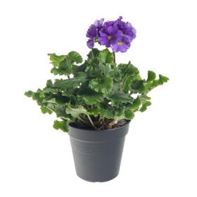 Prvosenka číškovitá, Primula obconica Touch Me Blue, modrá