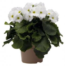 Prvosenka číškovitá, Primula obconica Touch Me White, bílá