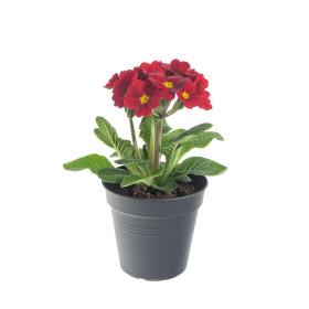 Prvosenka vyšší, Primula elatior, červená