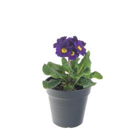 Prvosenka vyšší, Primula elatior, modrá