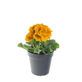 Prvosenka vyšší, Primula elatior, oranžová