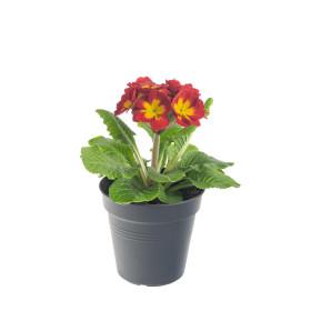 Prvosenka vyšší, Primula elatior, oranžovo - žlutá