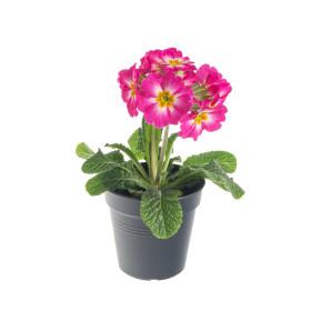 Prvosenka vyšší, Primula elatior, růžová
