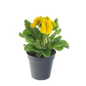Prvosenka vyšší, Primula elatior, žlutá