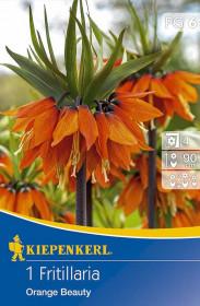 Řebčík cibule, Fritillaria Orange Beauty, oranžová, balená, 1 ks