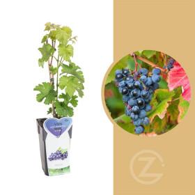 Réva vinná, Vitis vinifera Boskoop Glory, modrá