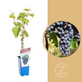 Réva vinná, Vitis vinifera Muscat Bleu, modrá