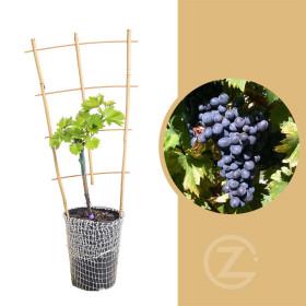 Réva vinná, Vitis vinifera Nero, modrá