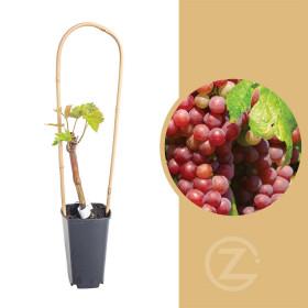 Réva vinná, Vitis vinifera Rosana, růžová