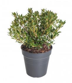 Rhododendron micranthum, Pěnišník drobnokvětý Bloombux Magenta, tmavě růžový