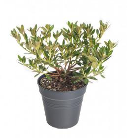 Rhododendron micranthum, Pěnišník drobnokvětý Nugget by Bloombux Magenta, tmavě růžový