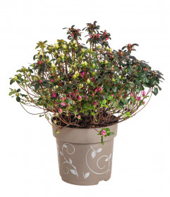 Rhododendron obtusum, Pěnišník tupý Fairy Dreams Three Sisters, bílo - červeno - růžový