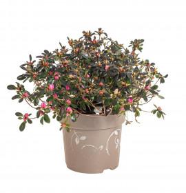Rhododendron obtusum, Pěnišník tupý Fairy Dreams Three Sisters, červeno - oranžovo - růžový