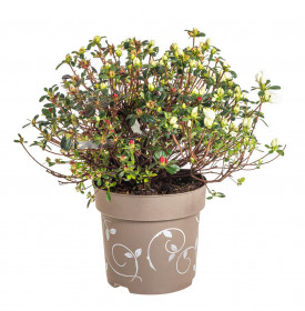 Rhododendron obtusum, Pěnišník tupý Fairy Dreams Three Sisters, oranžovo - červeno - bílý