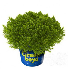 Rozrazilec - Hebe 'Green Boys' Bob velký