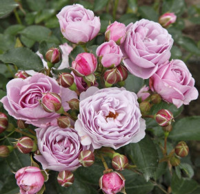 Růže Kordes Terrosa, Rosa Nautica, fialová, velikost kontejneru 9 l