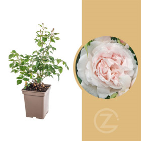 Růže mnohokvětá Kordes Parfuma, Rosa Constanze Mozart, světle růžová, velikost kontejneru 5 l