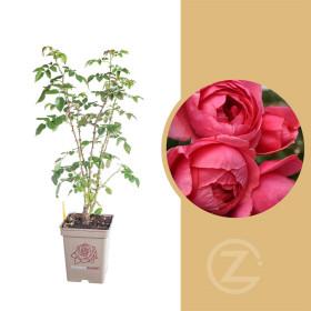 Růže mnohokvětá Kordes Parfuma, Rosa Gartenprinzessin Marie-José, červeno - růžová, kontejner 5 l