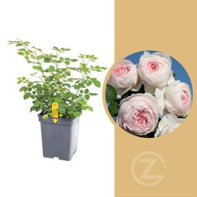 Růže mnohokvětá Kordes Parfuma, Rosa Herzogin Christiana, světle růžová, velikost kontejneru 5 l