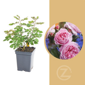 Růže mnohokvětá Kordes Parfuma, Rosa Rosengräfin Marie Hen, růžová, velikost kontejneru 5 l