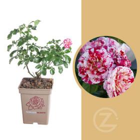 Růže mnohokvětá Kordes, Rosa Abracadabra, bílo - červená, velikost kontejneru 5 l