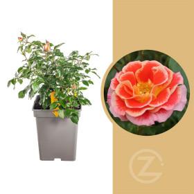 Růže mnohokvětá Kordes, Rosa Airbrush, žluto - růžová, velikost kontejneru 5 l