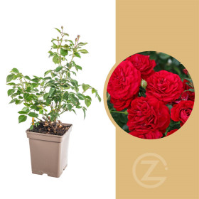 Růže mnohokvětá Kordes, Rosa Bordeaux, červená, velikost kontejneru 5 l