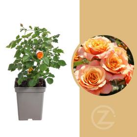 Růže mnohokvětá Kordes, Rosa La Villa Cotta, oranžová, velikost kontejneru 5 l