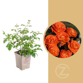 Růže mnohokvětá Kordes, Rosa Mango, oranžová, velikost kontejneru 5 l