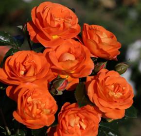 Růže mnohokvětá Kordes, Rosa Mango, oranžová, velikost kontejneru 9 l